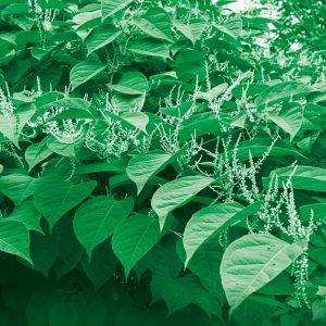 Japanese Knotweed root barrier